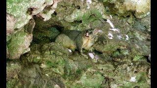 Очень милые сумчатые животные Австралии -  Поссум Лисий Кузу