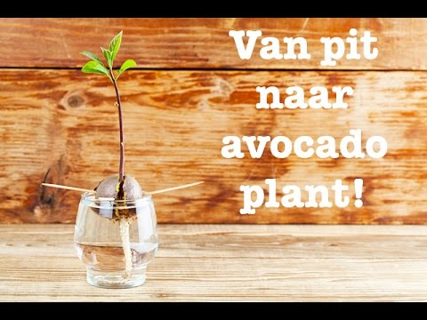 van pit tot avocado plant! grow your own avocado plant from seed