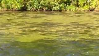 The Platte River, Loon lake Wier in Michigan. Salmon Run