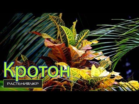 цветок кротона фото и уход