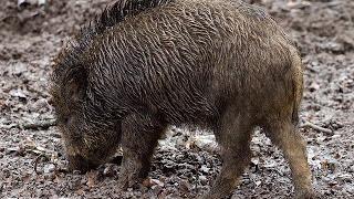 Wild Boars Kill ISIS Jihadists In Stampede