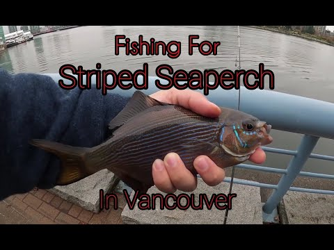 Fishing For Striped Seaperch In Vancouver