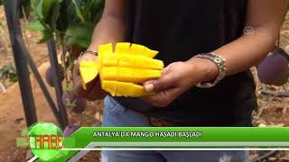 Gambar cover Antalya'da mango hasadı başladı
