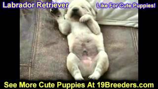 Labrador Retriever, Puppies, For, Sale, In, Chicago, Illinois, Il, Carol Stream, Streamwood, Plainfi