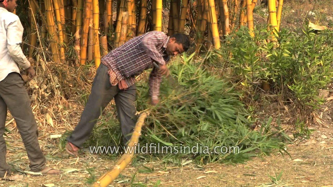 GALLERY VIDEO- GREEN BAMBOO NURSERY JABALPUR :: greenbamboonursery
