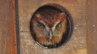 Eastern Screech Owls Return to Nest Box for 2014