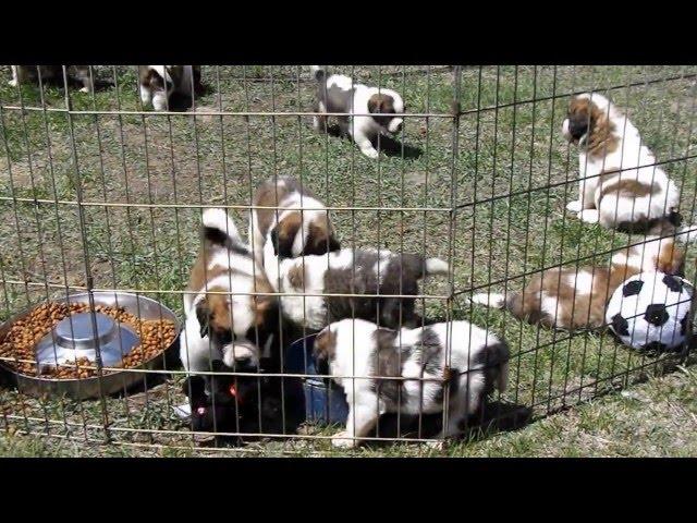 Saint Bernard puppies play