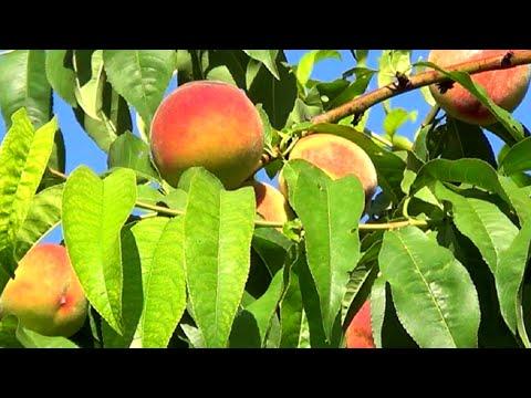 Каталог фруктов. Опасные и полезные свойства фруктов