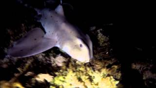Night Dive Freedive at Crescent Bay, Laguna Beach with Horn Shark - GoPro 4