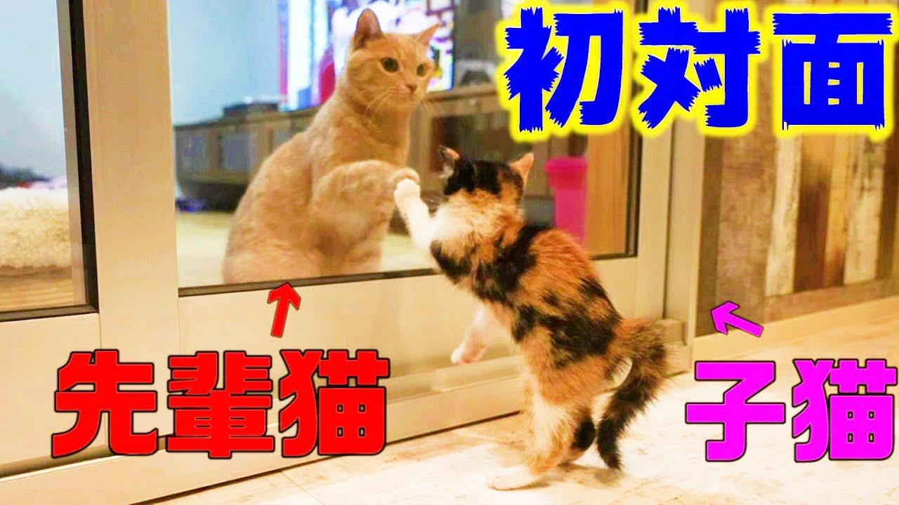 保護した子猫ズ、先住猫と初対面しちゃう
