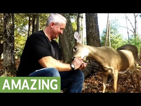 Wild deer go crazy for apples