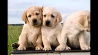 Самые смешные собаки и щенки Лабрадор ретривер самой умной собаки в мире(смешное видео про животных куча отличных нарезок про наших любимцев которые стоит посмотреть! Подписывайт..., 2015-02-14T15:31:43.000Z)
