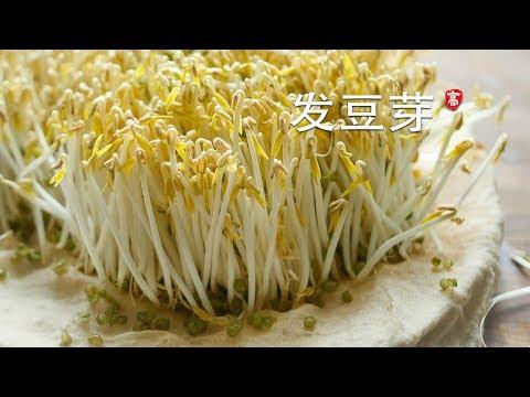 发绿豆芽 Grow Mung Bean Sprouts 三个要点 一次成功