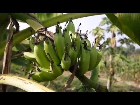 Organic Banana Farm in Laos