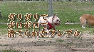 里親募集のホームページより抜粋。 http://www.pet-home.jp/dogs/hukuok...