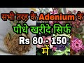 Easiest way to Buy Online Adenium plant only Rs 80 - Rs 150    Cheapest Adenium and Best Quality   
