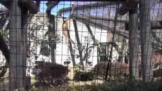 これは多摩動物公園のサーバルジャンプです。 この子のお名前はアポロく...