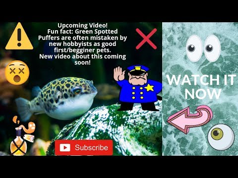 How To Take Care Of Green Spotted Pufferfish HD