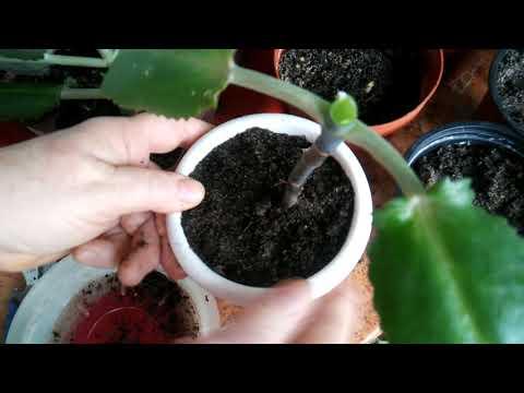 Каланхоэ перистый - уход и размножение в домашних условиях.