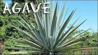 What Is Agave? How to Use Agave? Agave Sweet Tea Recipe