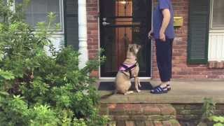 """Dog Door Manners Demo: Good Training Is More Important That """"dominance"""""""