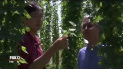 Special methods for growing hops in Florida