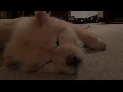 Chow Chow Puppy going to Sleep (Lion Sleeps Tonight.)
