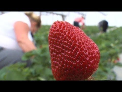 Первый в сезоне: урожай клубники собрали на Кубани