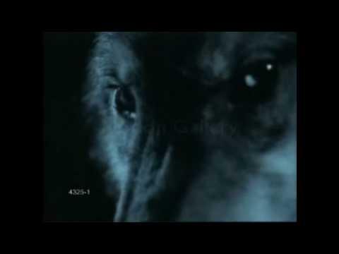 Running wolves at night