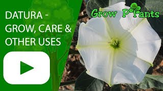 Datura - grow, care & other uses
