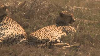 Wildlife of TANZANIA:Cheetah :Ngorongoro Conservation Area