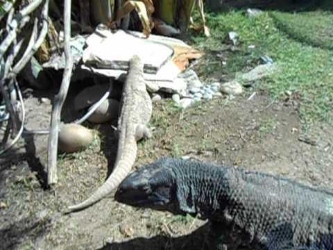Giant Monitor Lizard Showing Teeth on Command !!