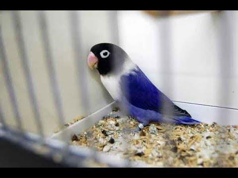 love bird gacor ngerol ngerol