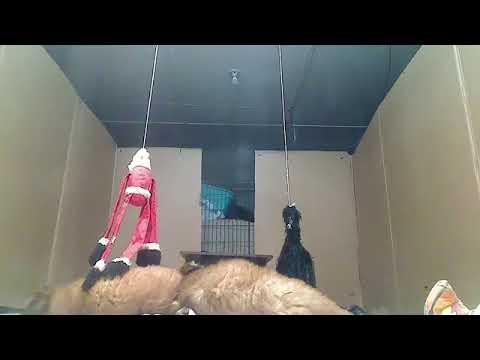 Soft Coated Wheaten Terrier Puppies Born 3/20/19