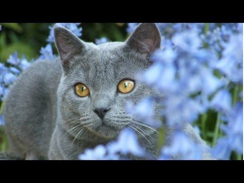 Шартрез, Картезианская кошка, Породы кошек, описание