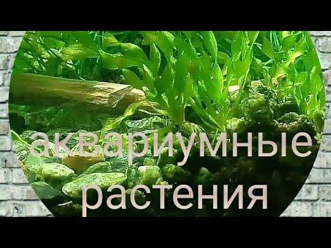 Валиснерия спиральная растение для аквариума