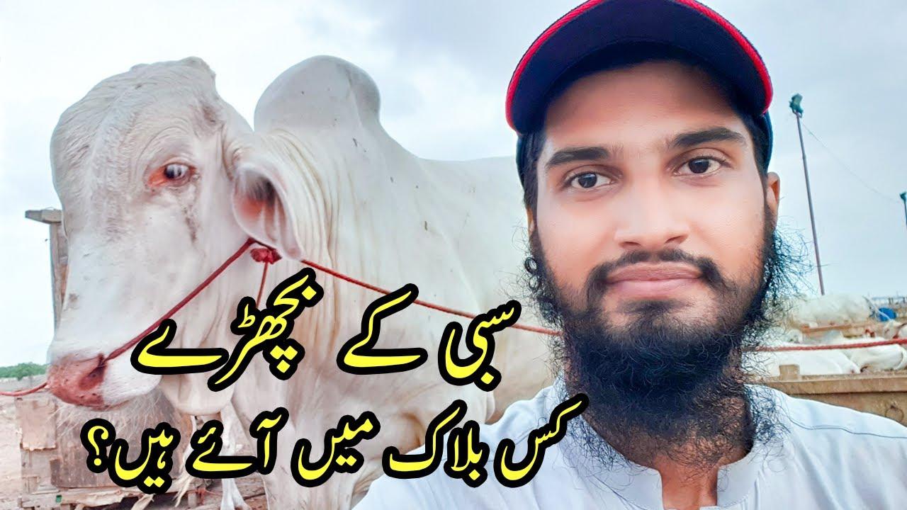 Plots Price + Sibbi Bulls Updates at Sohrab Goth Cow Mandi 2021 Bakra Eid 2021 Cattle Market Karachi