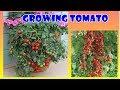 # Tis # Banyak Yang Belum Tau Cara Ini, Tanam Tomat Buah Lebat ! No 2 Paling Cep