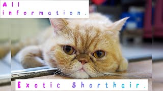 Exotic Shorthair. Pros and Cons, Price, How to choose, Facts, Care, History