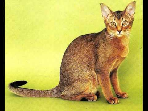 Abyssinian Cat Breed | Lovely Cat Picture Collection