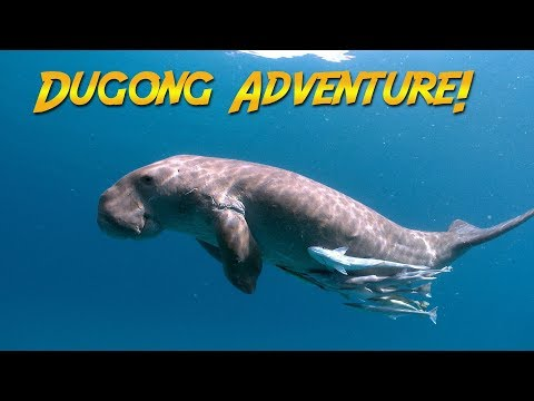 Dugongs of the Philippines | JONATHAN BIRD'S BLUE WORLD