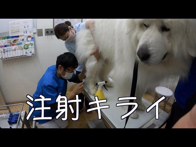 予防接種へ グレートピレニーズ Mix犬
