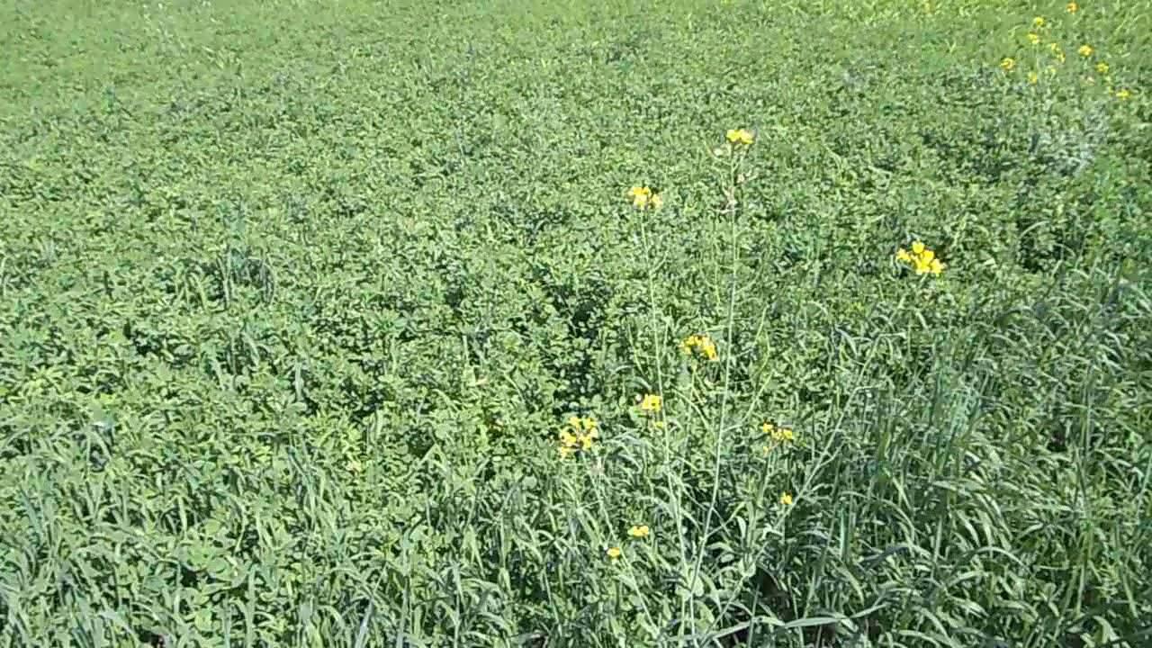 Как и когда сеять люцерну Сколько семян люцерны нужно на ...