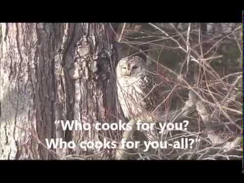 A Barred Owl in New Hampshire