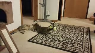 Savannah cat standoff