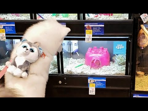 Husky Puppy Really Wants Guinea Pig For A Pet❣
