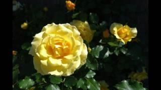 ドイツ歌曲「野ばら」の歌詞は、ドイツの詩人ゲーテ(Johann Wolfgang v...