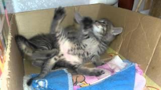 Котята играют)| ALina Cat