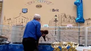 видео Британские кошки окраса циннамон