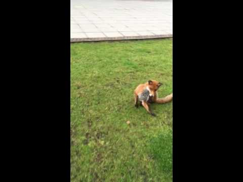 Tame Urban Fox in Glasgow